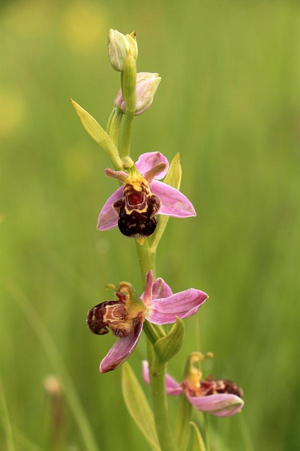 Bienen-Ragwurz_1a.jpg