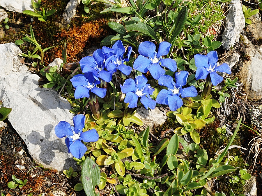 Gentiana_orbicularis_2a.jpg