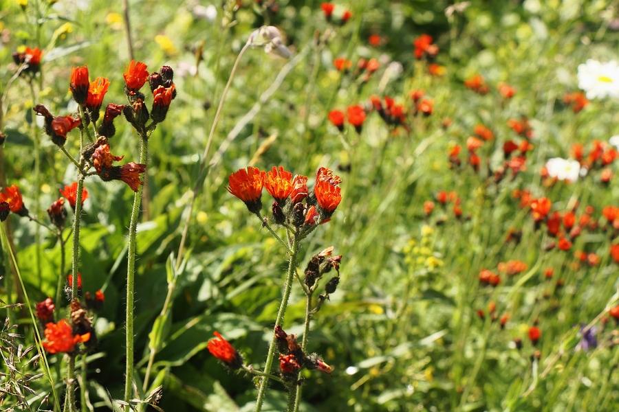Orangerotes_Habichtskraut_1a.jpg