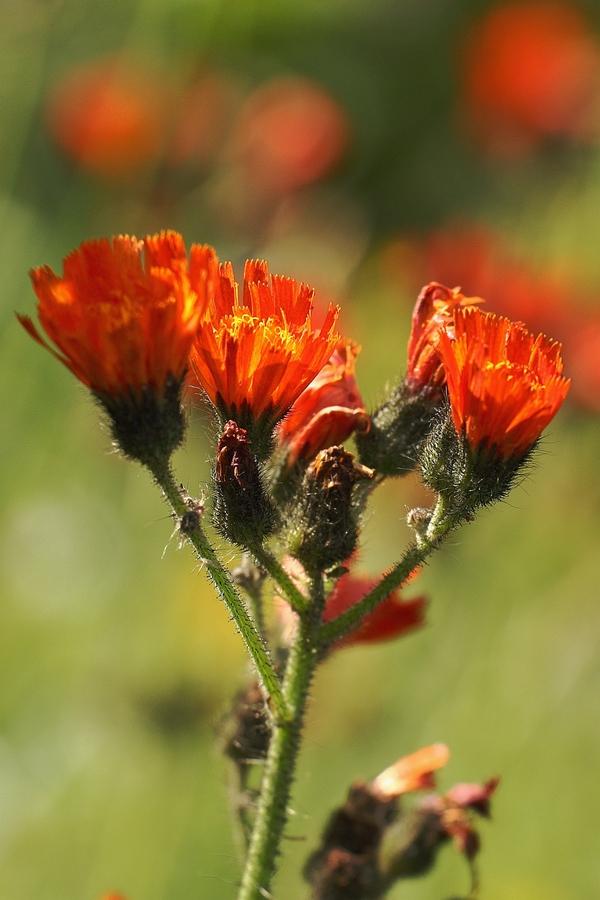 Orangerotes_Habichtskraut_2a.jpg