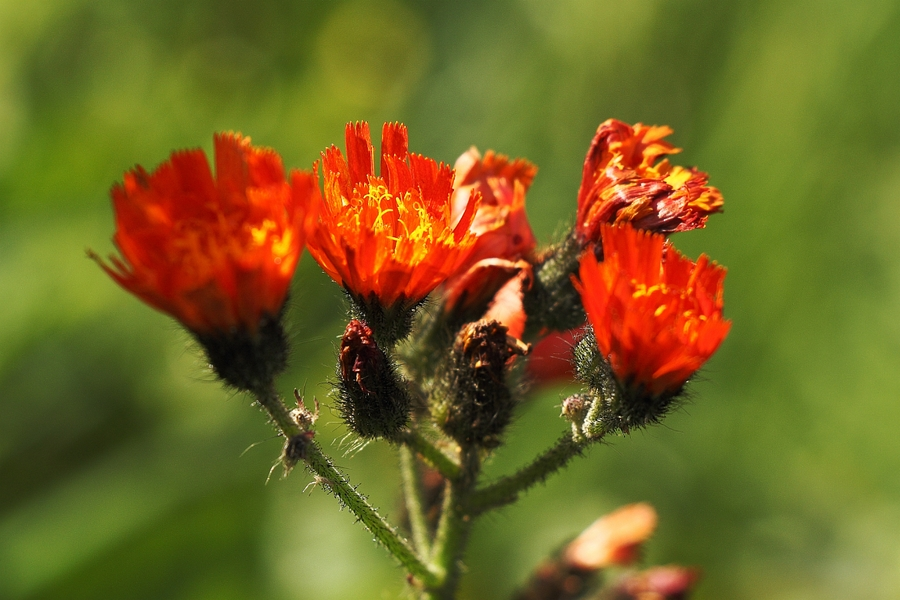 Orangerotes_Habichtskraut_3a.jpg