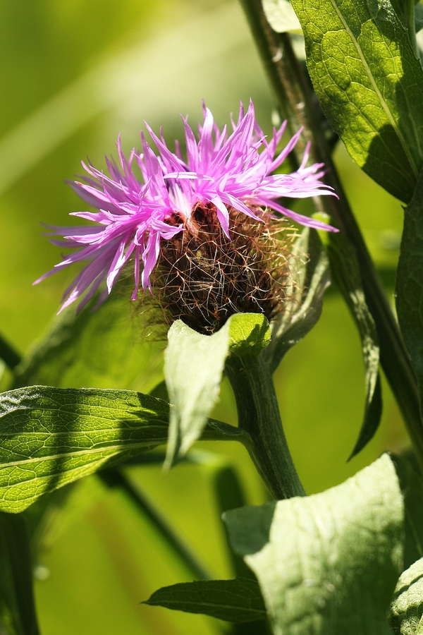 Peruecken-Flockenblume_1a.jpg