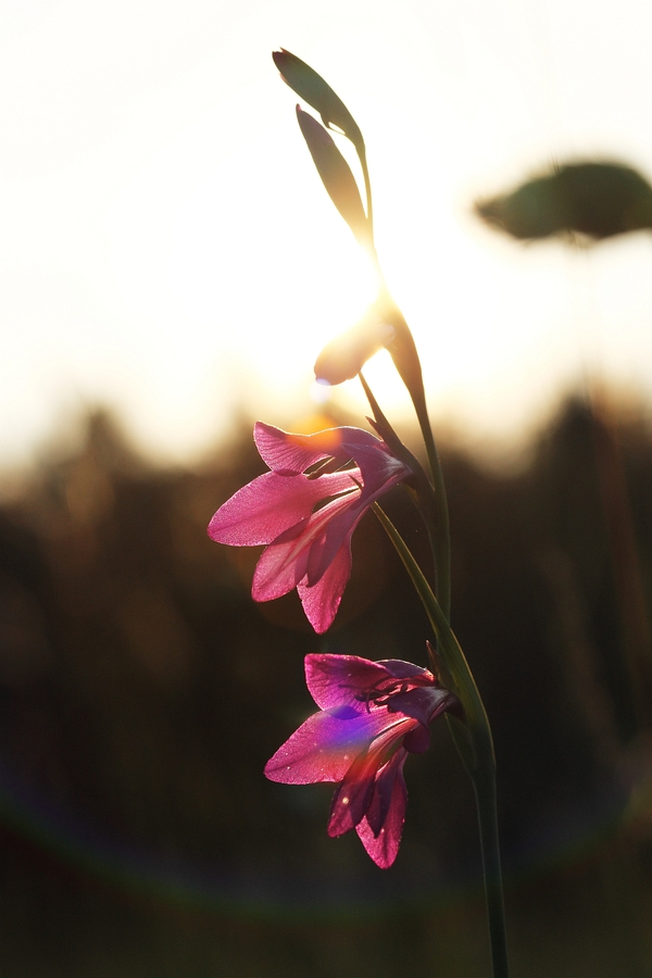 Sumpf-Gladiole_1a.jpg